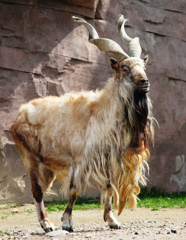 vijoroga koza