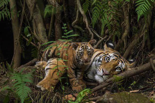 tigrovi ugrozena vrsta