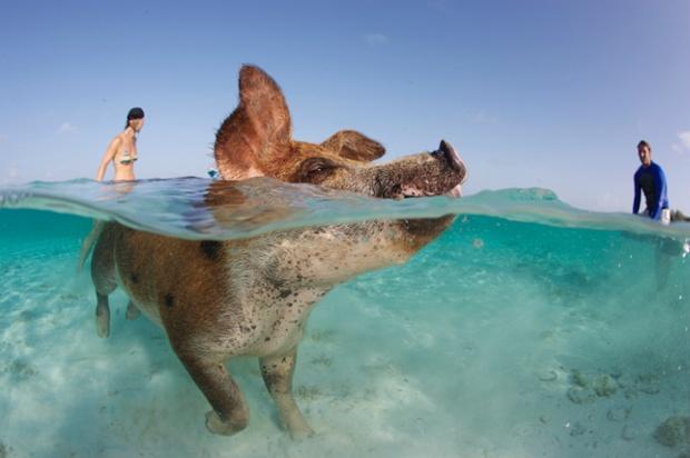 svinja uziva u kupanju