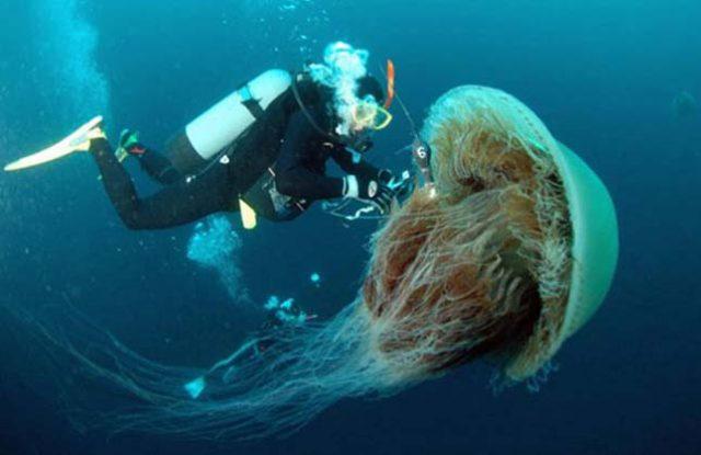 da li su meduze opasne