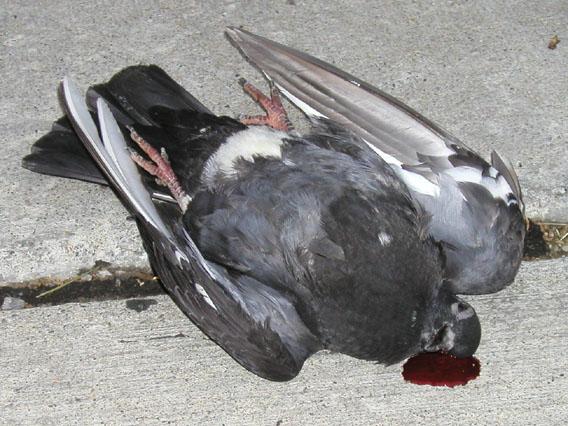 mrtav golub