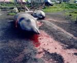 "STRAŠNO: Japan nemilosrdno kolje delfine! ODGOVOR VLASTI: ""Sve je u skladu sa zakonom""!"
