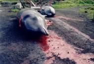 japanci-ubijaju-delfine-petface