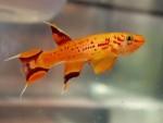 Najkratkovečnije akvarijumske ribice!