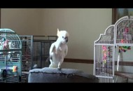 papagaj imitira majkl dzeksona