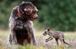 Pas Reks, neverovatnim njuhom, spasio život bebi kenguru!