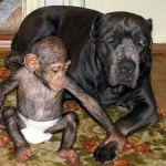 U Davidovom domu je kao u raju: Psi čuvaju bebu šimpanzu, kojoj je mama umrla na porođaju! (FOTO)
