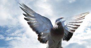 najskuplji golub na svetu