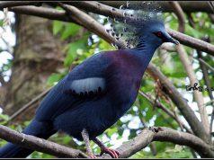 viktorijin krunasti golub