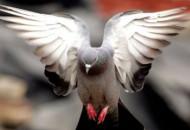 golubovi donose bogatstvo
