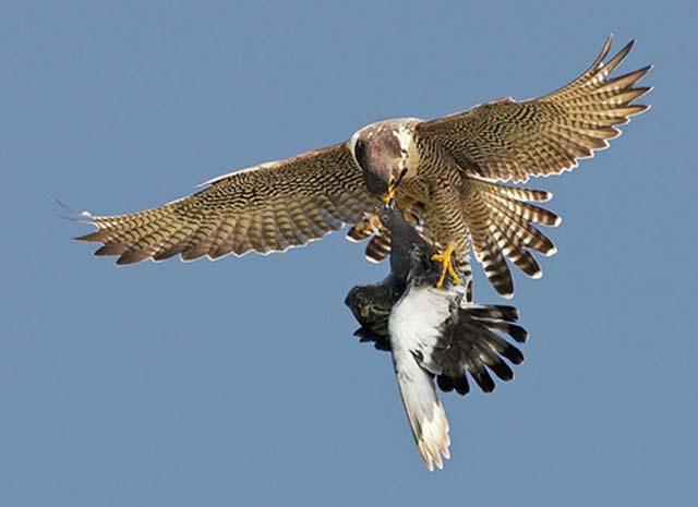 sivi soko zgrabio goluba