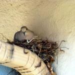 Zašto nikada ne vidimo bebe golubova?