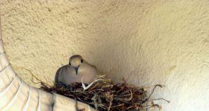 golub u gnezdu