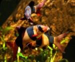 NOVI KUĆNI LJUBIMCI: Ribice koje se hrane smećem!