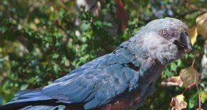 papagaj Prisli