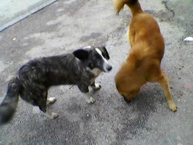ulicni-psi-u-vranju-petface