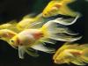 akvarijumske ribe petface