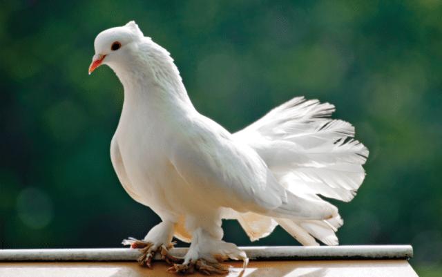 nega golubova petface