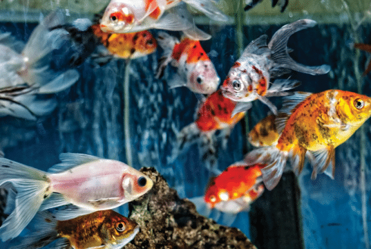 bolesti akvarijumskih ribica petface