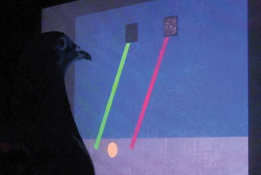 inteligencija golubova petface