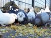 ishrana golubova petface