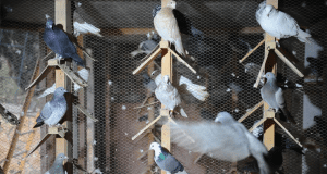 golubarstvo petface
