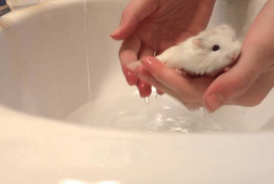 kupanje hrčka petface
