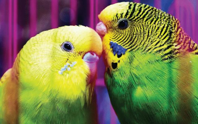 pol papagaj petface