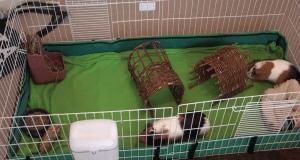kavez za morsko prase petface