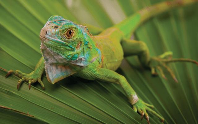 iguana petface