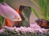 akvarijum i ribice petface