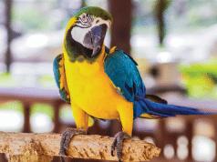 pripitomljavanje papagaja petface