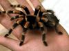tarantula petface