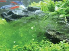 alge akvarijum petface