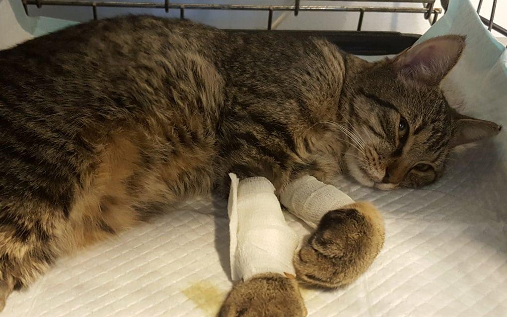 Bolesti mačaka: Panleukopenija