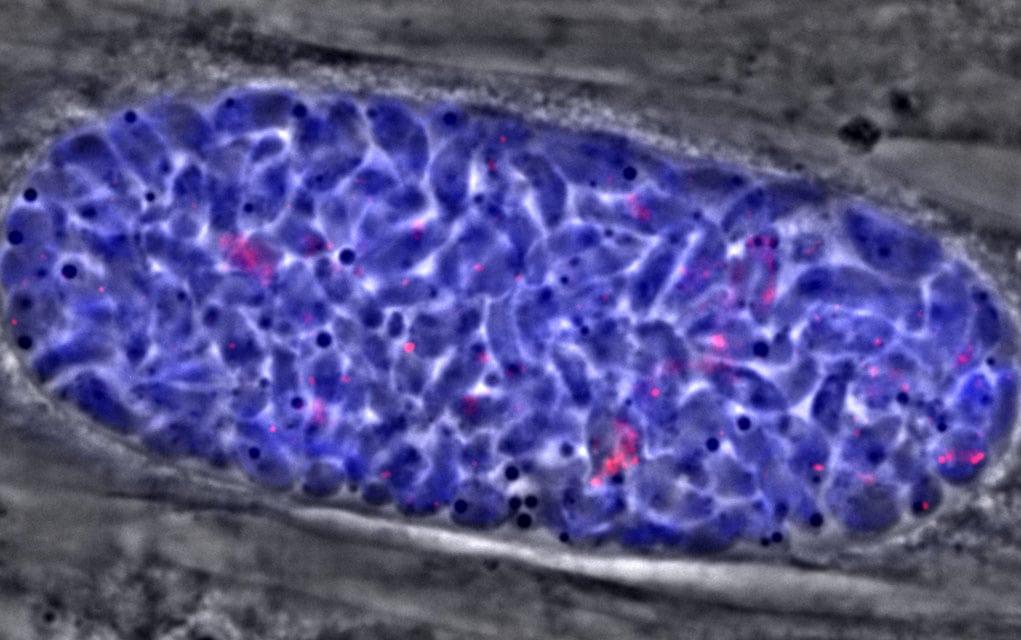 Toksoplazmoza – bolest opasna i po ljude!