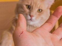 bolest mačjeg ogreba bartoloneza petface