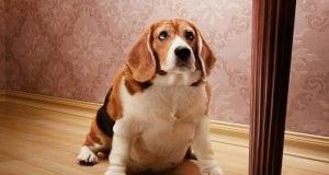 gojaznost debeli psi petface