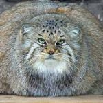 Gojaznost kod mačaka
