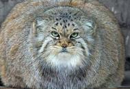 gojaznost-macaka petface