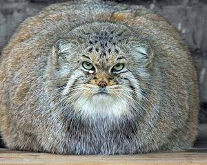 gojaznost kod macaka