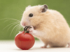 hamster petface