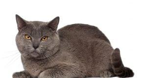 rase kartuzijska macka petface