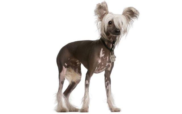 rase kineski ćubasti pas