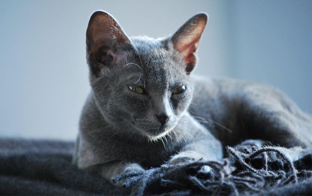 Korat mačka
