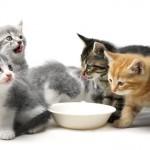Mačići treba da jedu samo mleko? Istina ili mit?