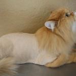 Opadanje dlake kod mačaka – uzroci i rešenja za opadanje dlake