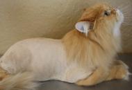 opadanje dlake kod macaka petface