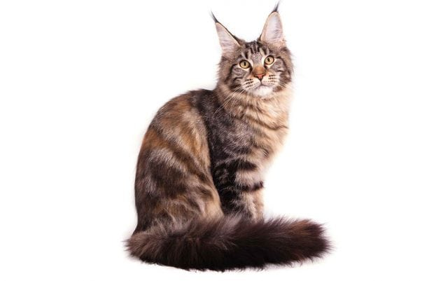 rase maine coon petface