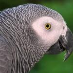 Žako: da li je žako najinteligentnija ptica na planeti?